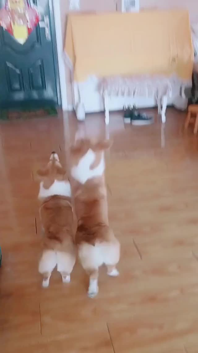 Watch and share Corgi Likes Playing Baloon GIFs by Eric on Gfycat