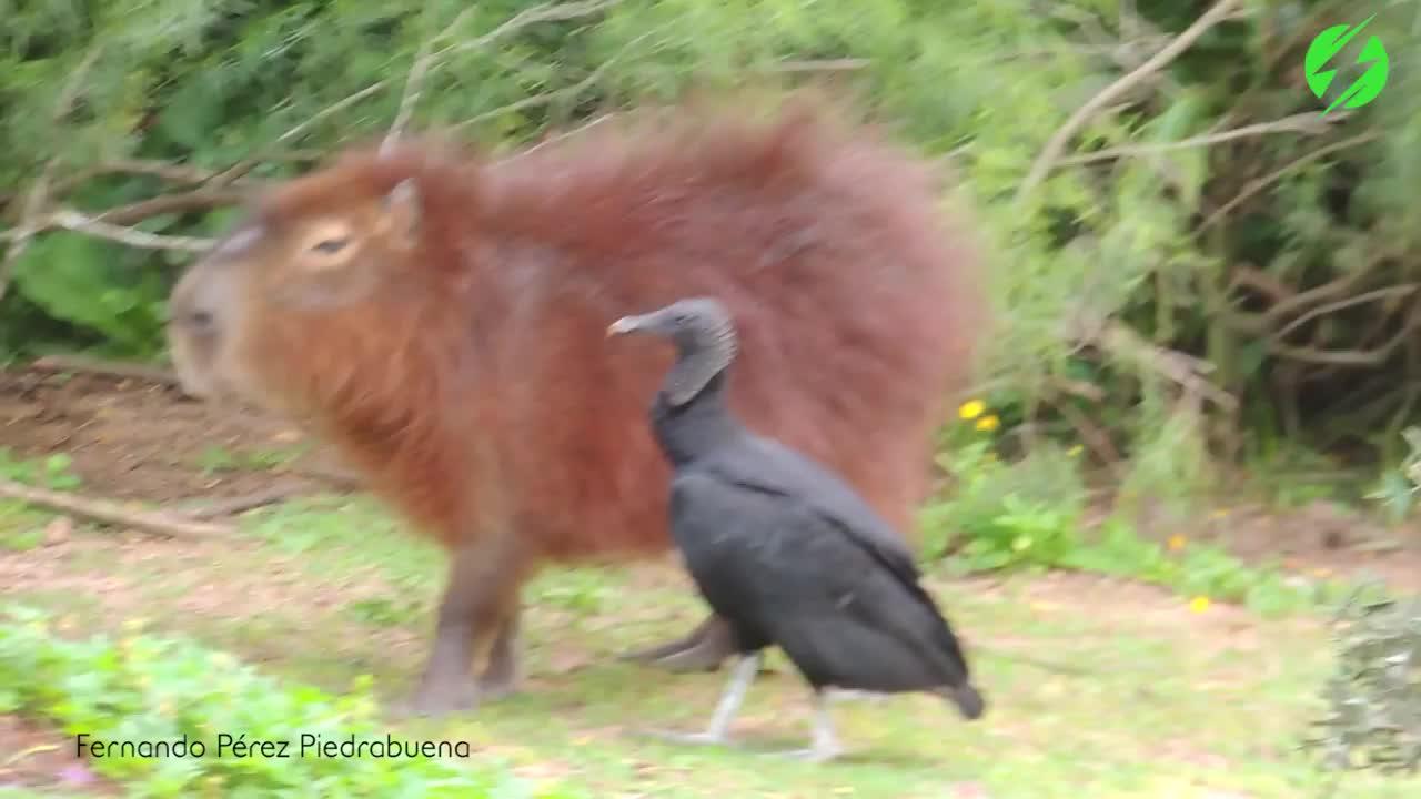 Black Vulture feeding on a Capybara's ticks GIFs