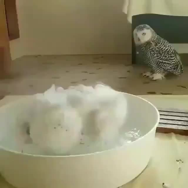 Watch and share White Owl GIFs and Bath GIFs by civa__ on Gfycat