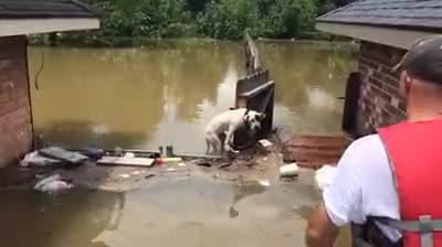 Watch Pitbull being rescued from flooding waters in South Louisiana (reddit) GIF by axshonjackson on Gfycat. Discover more HumansBeingBros, gifs GIFs on Gfycat
