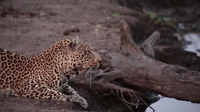 Watch and share Kashana Male Leopard GIFs by Londolozi Game Reserve on Gfycat