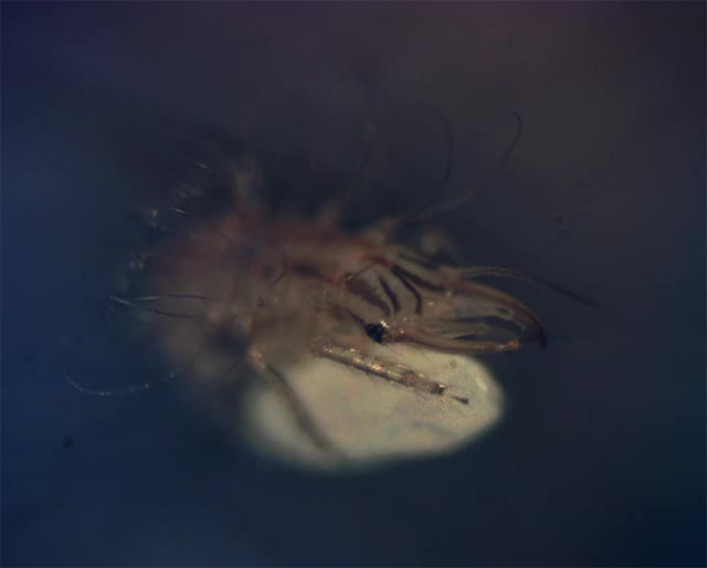 Watch and share Lacewing Larva DIC GIFs on Gfycat