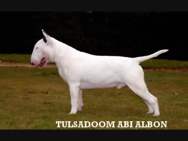 Watch and share Bullterrier GIFs and Tulsadoom GIFs on Gfycat