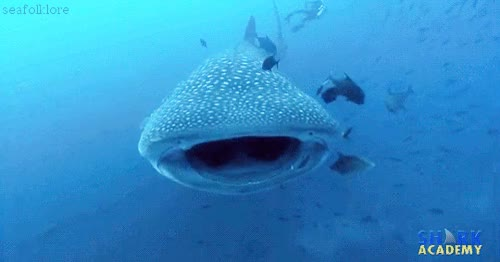 Watch and share Whale Shark GIFs on Gfycat