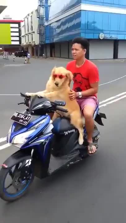 Watch INT. Asian Dog Driving Motorbike Scooter - owner relaxing GIF on Gfycat. Discover more animal, animals, bark, dog, doggy, pet, ride, woof GIFs on Gfycat