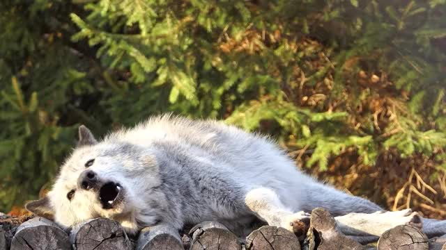 Watch and share Funny Animals GIFs and Wolf Howling GIFs on Gfycat