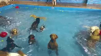 Watch and share Dogs GIFs and Pool GIFs on Gfycat