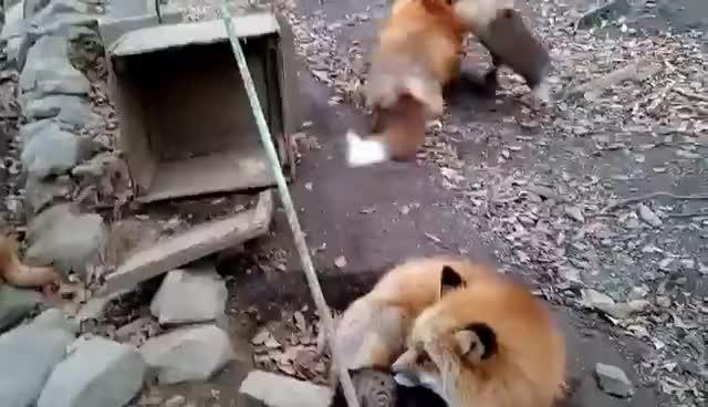 Foxes Gekkering GIFs