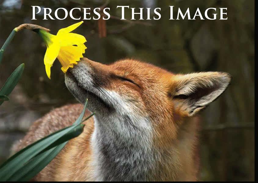 CreationGifs, photoshopbattles, PsBattle: Fox smelling a flower (reddit) GIFs