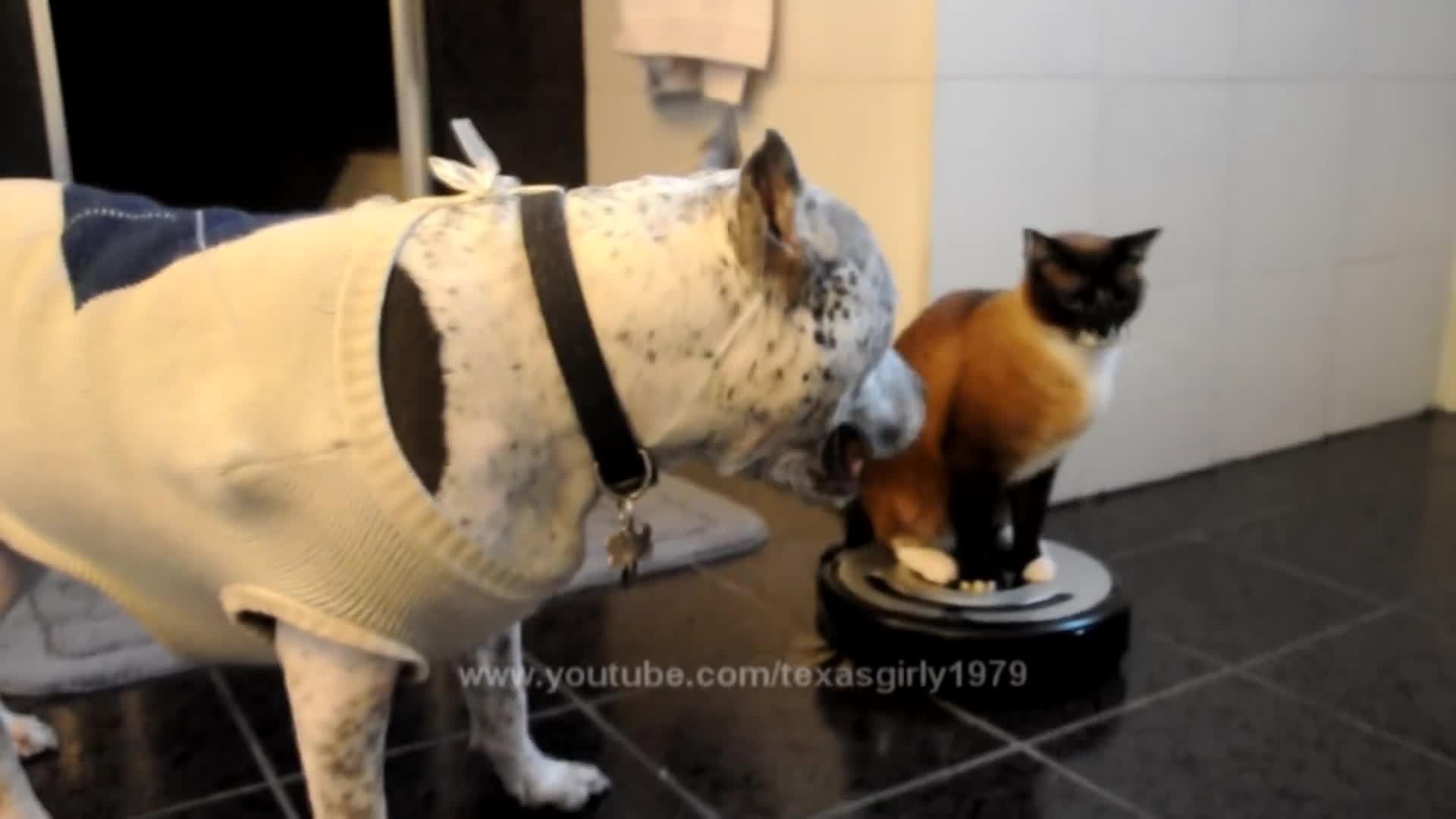 aww, cat, catsridingroombas, dog,  GIFs
