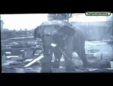 Watch and share Elephant Killed By Thomas Edison With 6600 Volts GIFs on Gfycat