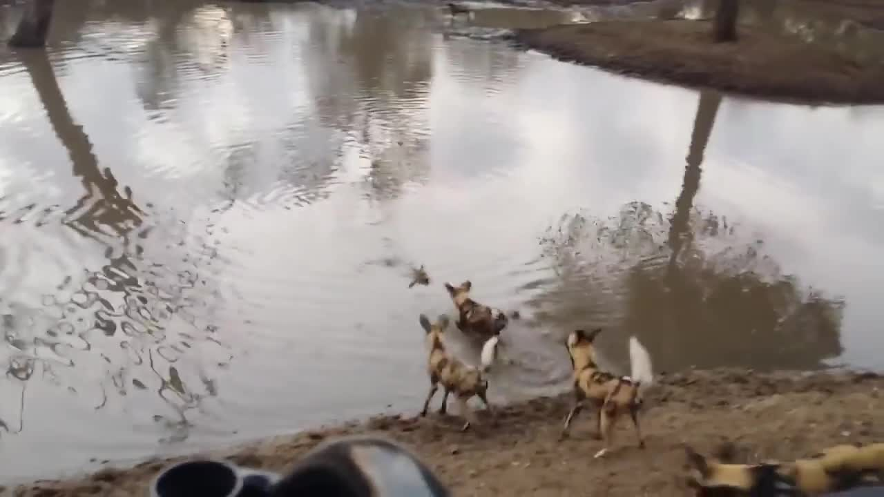 Duiker crying as it gets pulled out of the water by African Wild Dogs GIFs