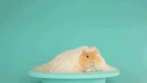 Watch guinea pig GIF on Gfycat. Discover more related GIFs on Gfycat