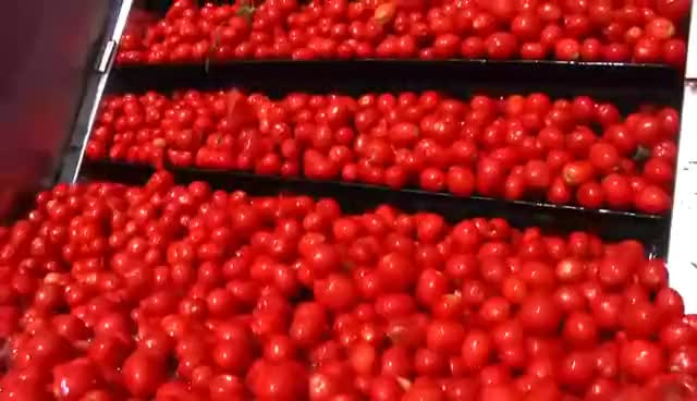 Watch Tomato Farms of Red Gold GIF on Gfycat. Discover more FOOOD, Farmer, Geneva, Indiana, acmoody, factory, farming, fields, food, fresh, hybrids, loamy, michigan, ohio, processing, redpack, relationship, ripe, roma, tractor GIFs on Gfycat