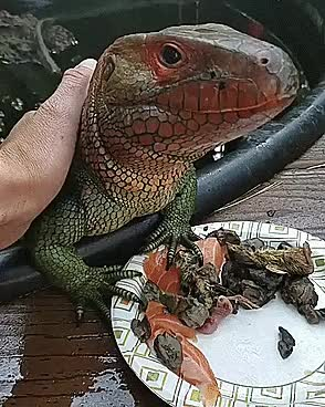 Watch and share Mean Iguana GIFs on Gfycat