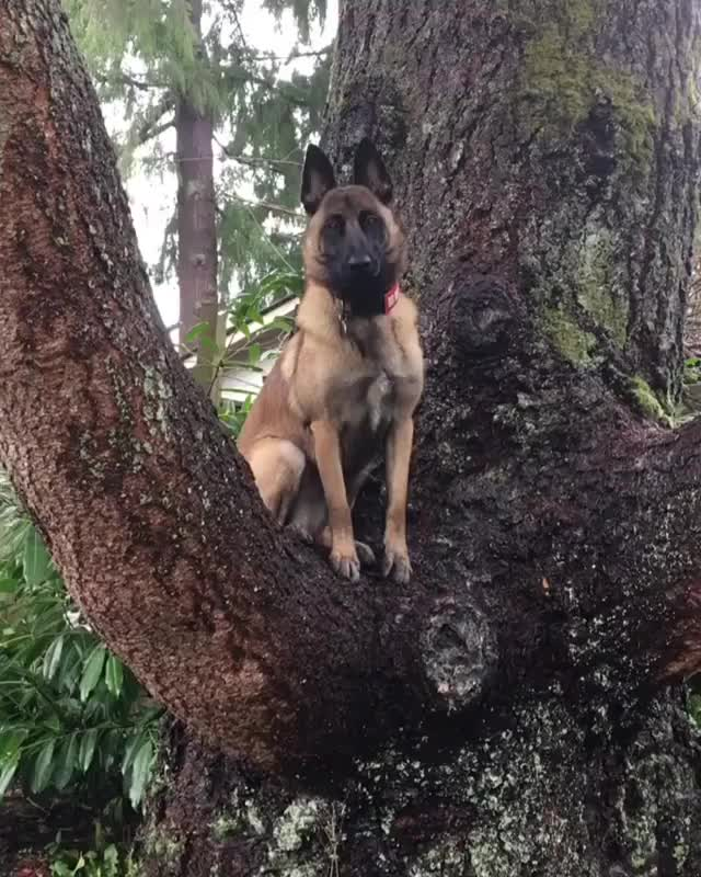 Watch and share Instagram @leeloomal Youtube: Leeloo Malinois GIFs by PM_ME_STEAM_K3YS on Gfycat