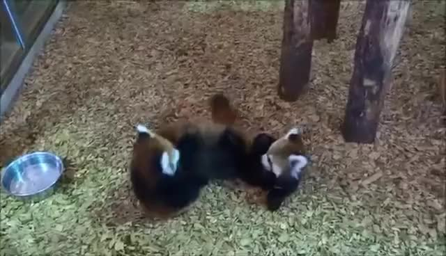 Watch this red panda GIF on Gfycat. Discover more panda, red, red panda GIFs on Gfycat