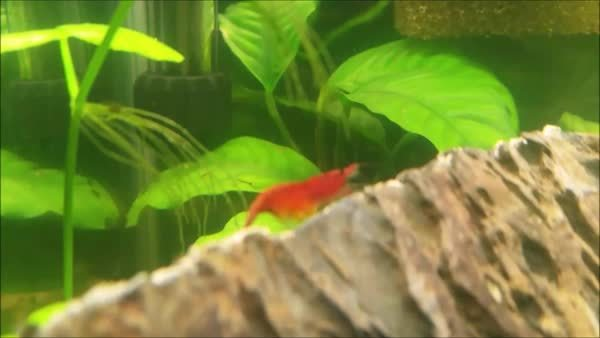 shrimptank, My biggest RCS is finally pregnant! GIFs