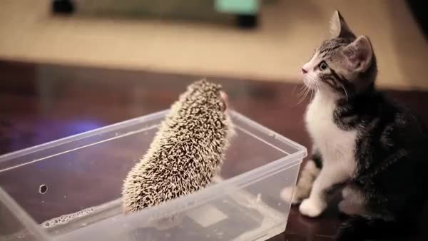 Watch and share Kitten Meets Hedgehog GIFs on Gfycat