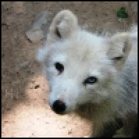 Watch and share Wolf Pup Photo: Baby Wolf Pup Icon ICONATOR_c223b8b20b62717bc90bae01725b3c47.gif GIFs on Gfycat