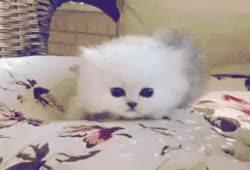 Watch and share Kitten Roar GIFs on Gfycat