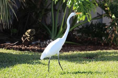 Watch and share Great Egret GIFs on Gfycat