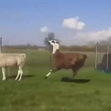Watch and share Funny Lama Running GIFs on Gfycat