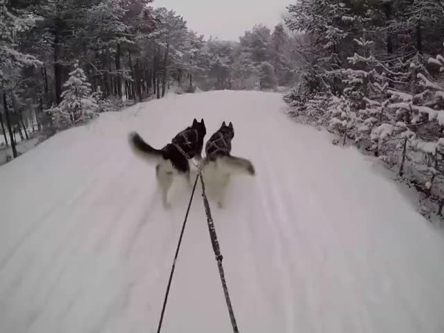 Watch and share Huskies In The Deep Of Winter (GoPro Hero 4) HD GIFs on Gfycat