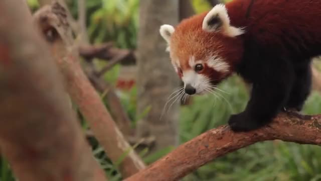 Watch Red Panda Love GIF on Gfycat. Discover more adorable, cutest animals ever, red panda GIFs on Gfycat
