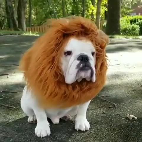 Watch and share English Bulldog GIFs and Bulldoglife GIFs by elya_f on Gfycat