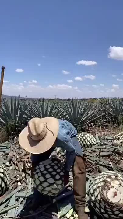 From Agave Teguilana to Tequila