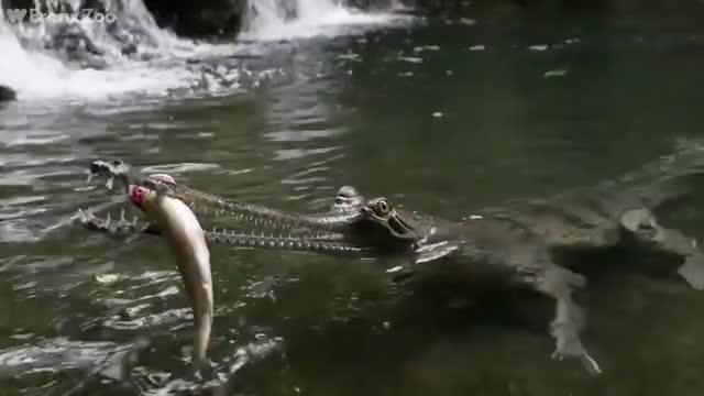 Watch this crocodile GIF by @zatoonazayne on Gfycat. Discover more crocodile GIFs on Gfycat