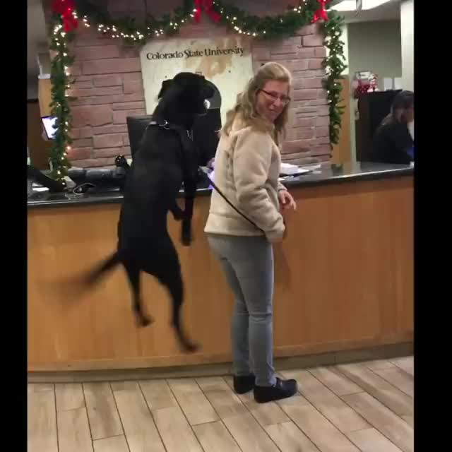 Colorado State University Veterinary Teaching Hospital, Dog is excited to visit Veterinarian. GIFs