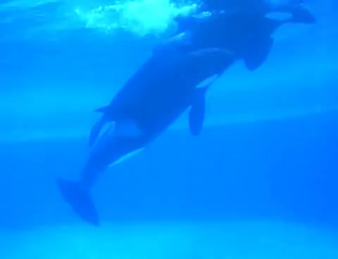 whale, Whales mating GIFs