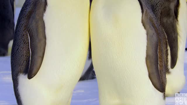 Watch this animal GIF by BBC America (@bbcamerica) on Gfycat. Discover more animal, animals, awww, bbc america, bbc america dynasties, bbc america: dynasties, dynasties, emperor penguin, emperor penguins, family, love, penguin, penguins GIFs on Gfycat