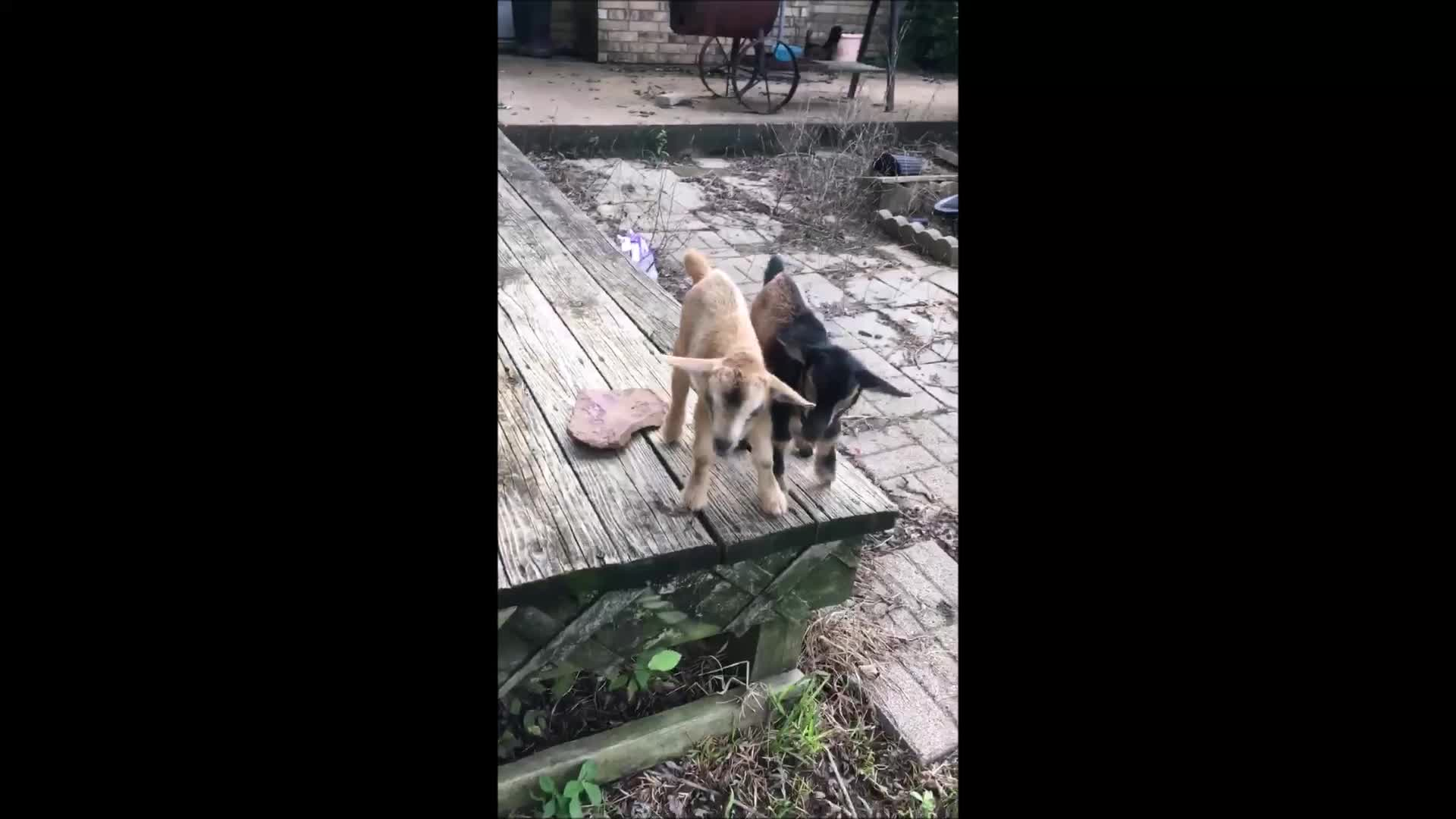 aww, baby goats, babygoats, cute, eyebleach, goatparkour, knsfarm, tippytaps, Baby Goat Tippy Taps (Source: McMullen Farm) GIFs