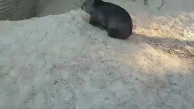 Watch and share Pebbles The Wombat Does Zoomies To Pass The Time! GIFs by tehpolecat on Gfycat