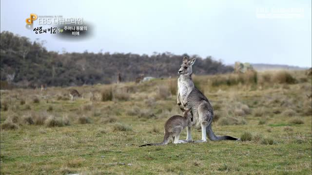 Watch and share Kangaroo Joey Returning To Its Mother's Pouch GIFs by Pardusco on Gfycat