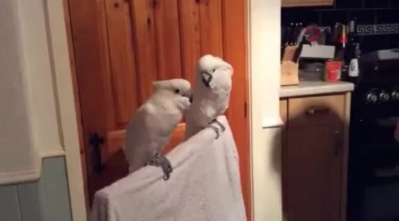 Watch cockatoo loves elvis GIF on Gfycat. Discover more related GIFs on Gfycat