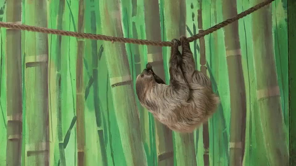 Marmozet stealing from a sloth GIFs