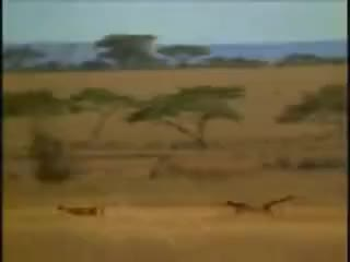 Watch and share Man Outruns Cheetah - Funny TV Commercial GIFs on Gfycat