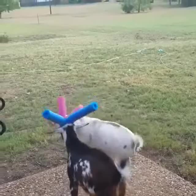 Watch and share Goats GIFs on Gfycat