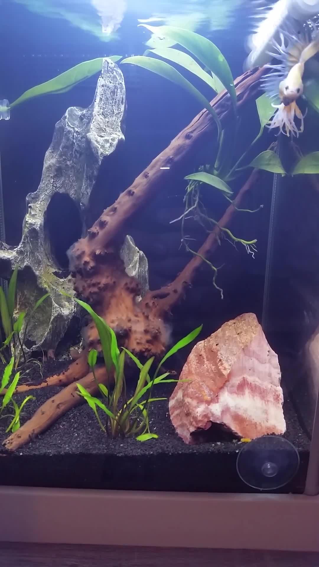 aquariums, bettafish, Kelsier? mad at the video camera GIFs