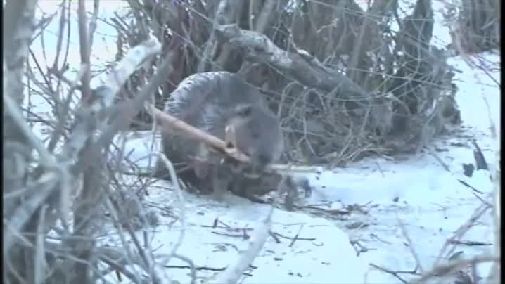 Awwducational, gifs, likeus, Beaver walking about on two legs while carrying sticks GIFs