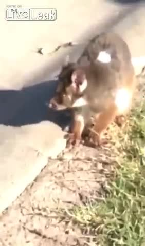 Teasing an injured Koala bear, WCGW? GIFs