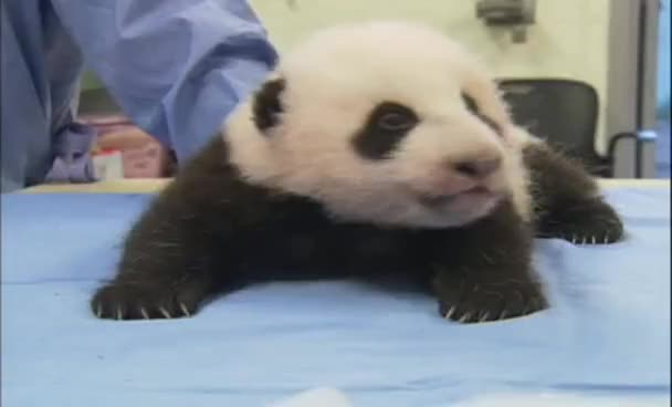 Watch this panda GIF on Gfycat. Discover more animals, bear, bears, cute, panda, panda bear GIFs on Gfycat