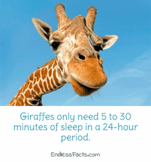 Watch and share Giraffe GIFs and Animal GIFs on Gfycat