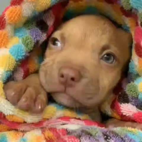 americanpitbullterrier, apbt, bullies, bulliesofig, bulliesofinstagram, bulliesofthegram, bully, bullybreed, dogs_of_instagram, dogs_of_world, funnydog, pitbull, pitbulllover, pitbullsarelove, pitbullsofficial, pitbullsofinstagram, pitmix, pittylove, staffbull, terrier, Post bath time Dyson is the best Dyson GIFs