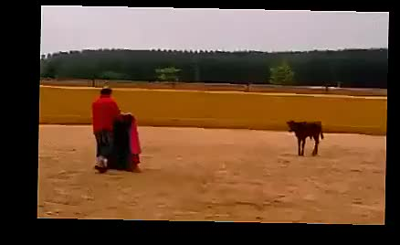 Watch This bull fighting stuff is piece of ca........ (reddit) GIF on Gfycat. Discover more related GIFs on Gfycat