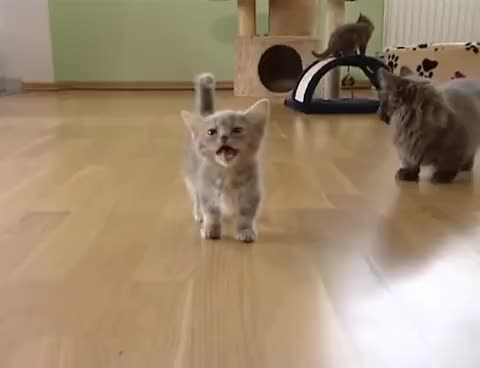 Watch this meow GIF on Gfycat. Discover more cat, cats, kitten, kitty, meow GIFs on Gfycat